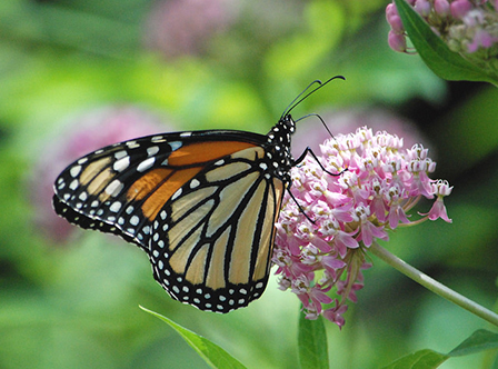Monarch butterfly (Jim Hudgins/USFWS)