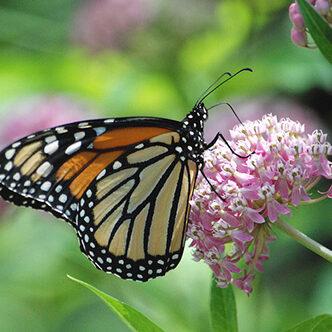 Monarch butterfly (Jim Hudgins/USFWS)